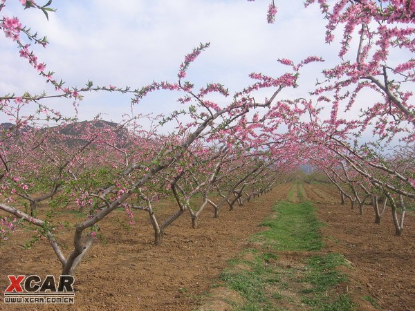 平谷桃花节看桃花