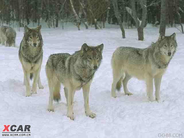 头像动物霸气十足狼