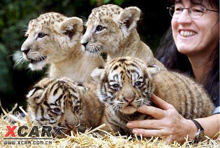 四只小老虎小狮子可爱的身影吸引不少目光.(欧新社) 附件: 回复本楼