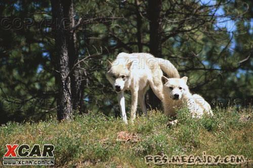 狼是动物界的长跑