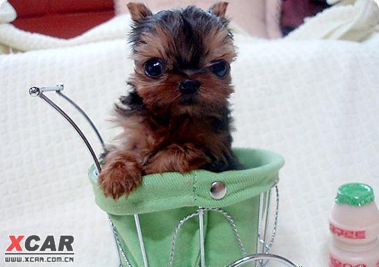 可爱的茶杯狗