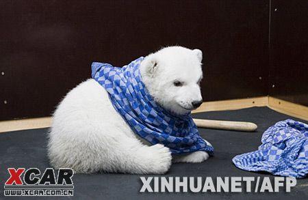 超级可爱:德国纽伦堡动物园的小北极熊