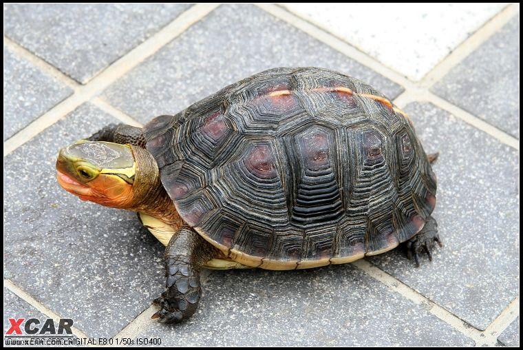 乌龟死了是什么样子 冬眠乌龟死了的样子 梦见死乌龟