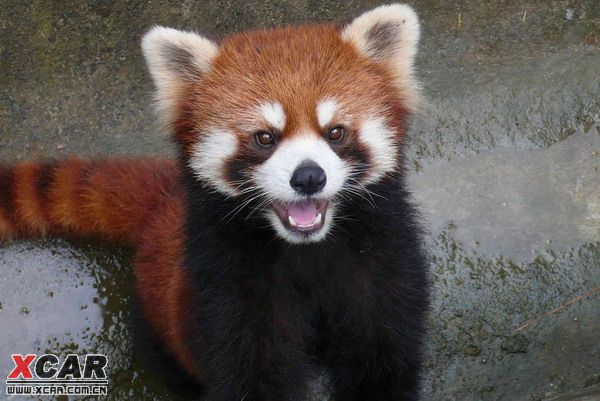 小熊猫,好可爱