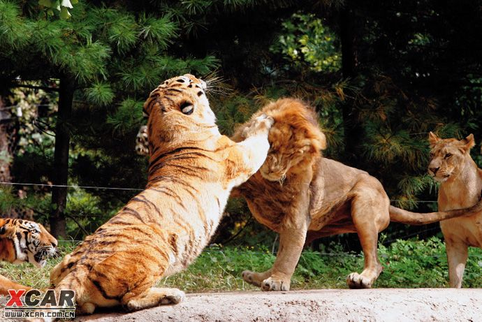 老虎打架  贴图]老虎与狮子
