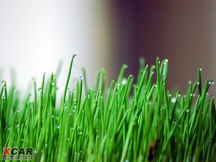 家里自己种的小麦苗,今天没浇过水,上午外出,晚上回来去看了一下,发现每个麦苗尖尖上都有一颗小水珠,用嘴吹吹它也不会掉下来,真奇怪。水珠是麦苗自己分泌出来的呢,还是空气中的水分凝结在麦苗尖上的呢?要是凝结的,现在是晚上9点,空气湿度也不高,怎么凝结起来的呢?也许是本人少见多怪,哪位高人知道原因请告知,谢谢~~ 附件: