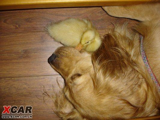 【精华】金毛与鸭子之间的感人故事--此故事内容完全