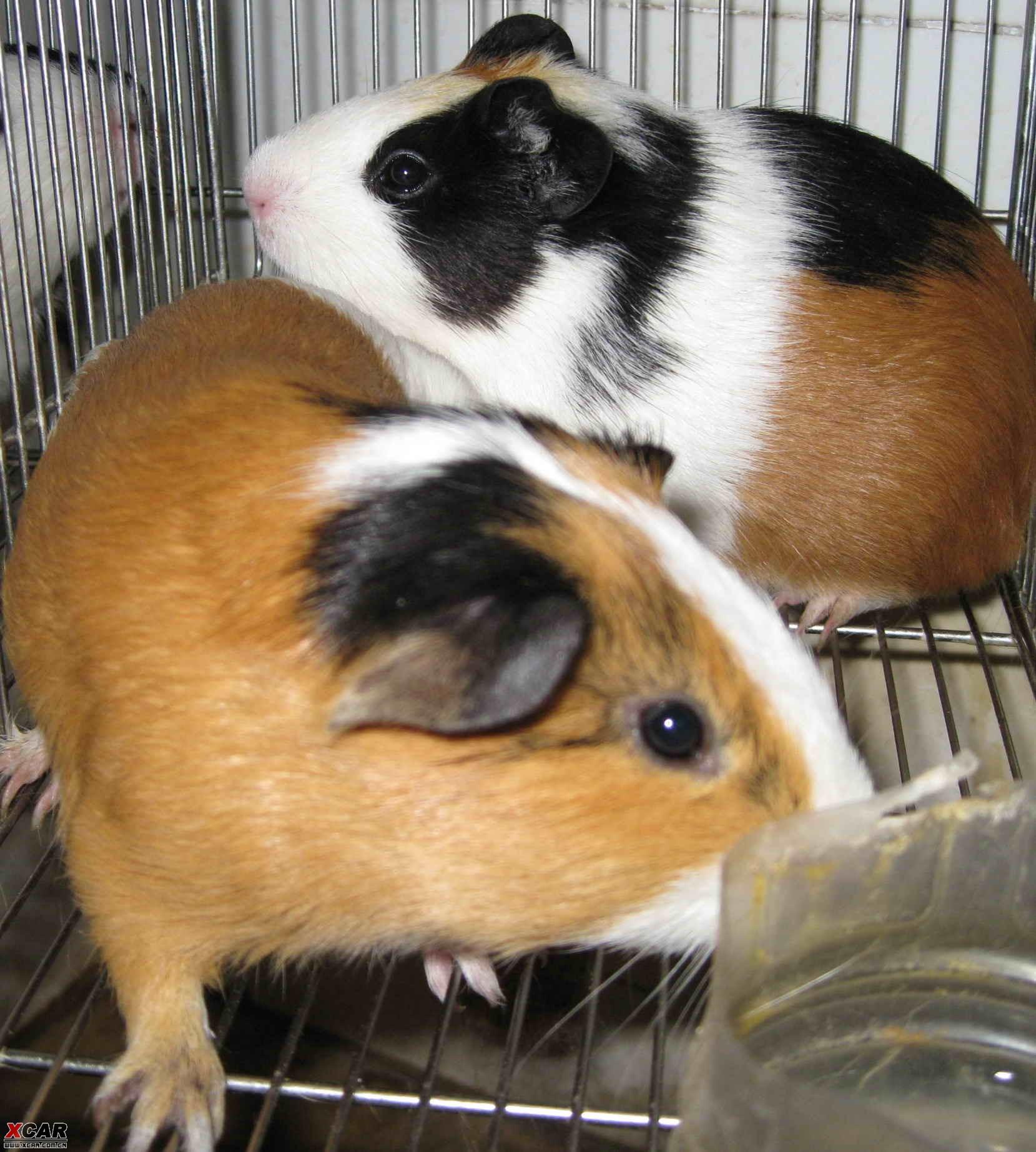 谁来领养可爱的小宠物——荷兰猪(15楼补充图片)?