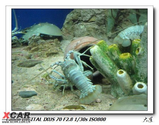 又是龙虾,好多好多,远处半圆形象钢盔一样的是鲎!  鲎(读hou) 鲎是一种珍奇的海洋动物,也是体形最大的海洋节肢动物。   鲎的长相既像虾又像蟹,人称之为马蹄蟹,是一类与三叶虫 (现在只有化石)一样古老的动物。它身体扁平,头和胸部有甲壳,似龟、鳖,尾部呈叉状,属于肢口纲。通称水鳖子。   鲎的祖先出现在地质历史时期古生代的泥盆纪,当时恐龙尚未崛起,原始鱼类刚刚问世,随着时间的推移,与它同时代的动物或者进化、或者灭绝,而惟独只有鲎从4亿多年前问世至今仍保留其原始而古老的相貌,所以鲎有活化石之称。现在