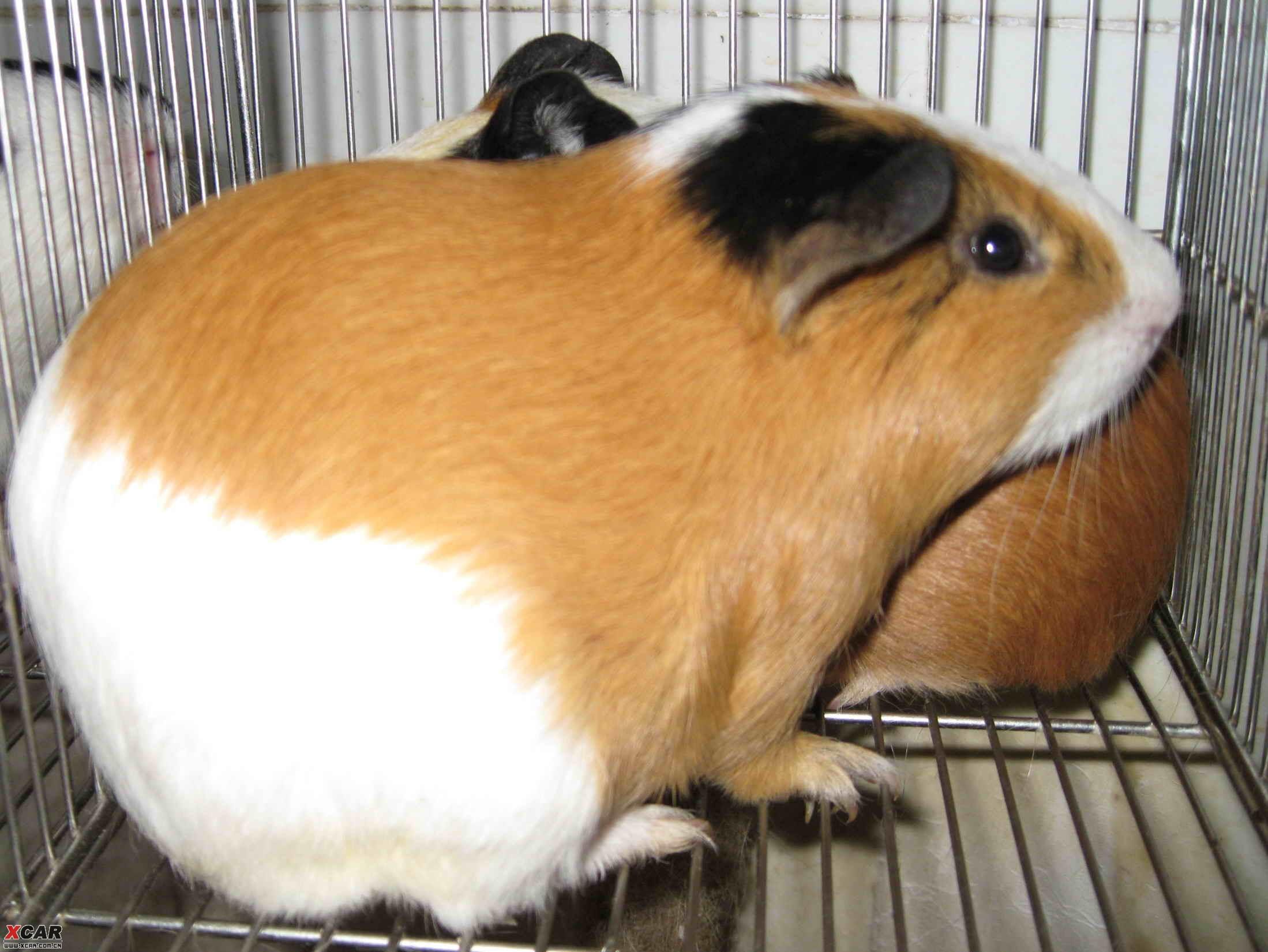 【精华】可爱的荷兰猪