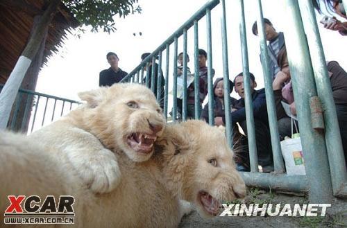 龙凤胎小白狮亮相宁波一动物园(图)_浙江论坛_爱卡汽车