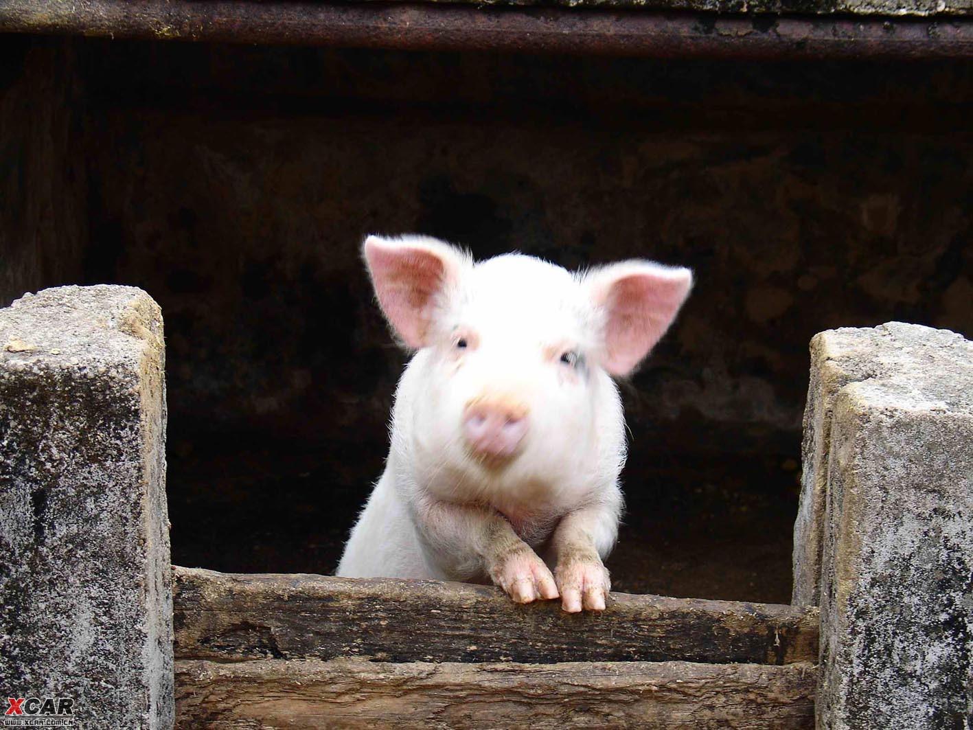 农家猪圈里一只给大家拜年的可爱小猪