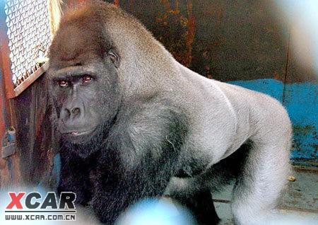 假猩猩得人的说说 zooskool 人与猩猩 讨厌假猩猩的人的句子
