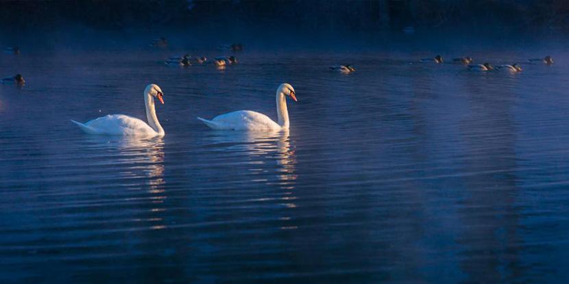 大年初一来到新疆冰封的赛里木湖,邂逅栖息在那里的天鹅群