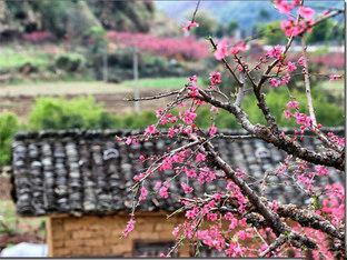 总是春 连平万亩桃园赏花之旅