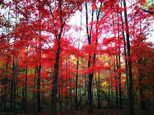 棒槌谷枫叶红似火