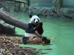 成都大熊猫憨态可掬