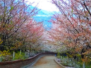 走进朱家峪樱花长廊