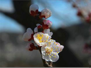 走进大山深处赏杏花