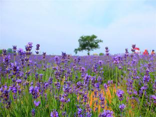 鲜花四溢 到访大塘金薰衣草园