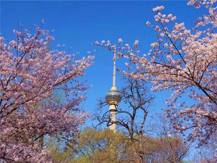 春来樱花如约而至 山河无恙